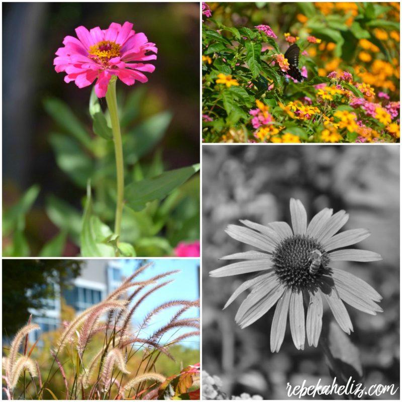 flowers, pink, fayetteville arkansas, downtown, arkansas square, fayetteville arkansas square, bee, butterfly