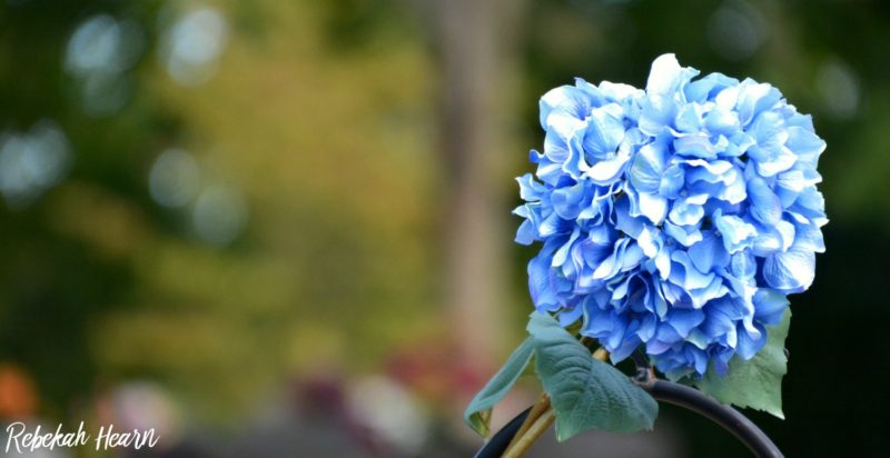 blue hydrangea, rebekaheliz, flower, blue, fall