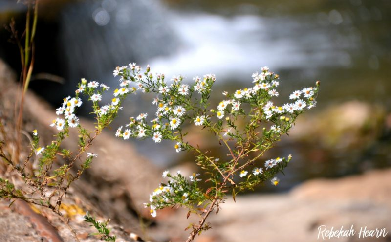 crooked creek, arkansas, flower, white, yellow, water, rebekaheliz, fall